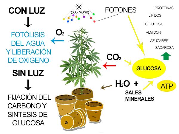 fotosintesis-c.png